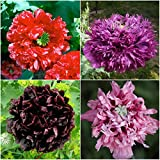 Package of 500 Seeds, Peony Poppy Mixture (Papaver paeo.) Non-GMO Seeds by Seed Needs