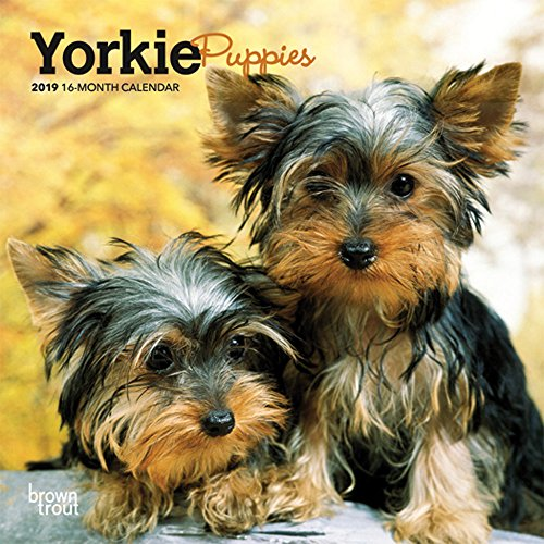 Yorkie Puppies 2019 7 x 7 Inch Monthly Mini Wall Calendar, Animals Small Dog Breeds Terrier Yorkshire Terrier (English, French and Spanish Edition) (Yorkie Puppies)