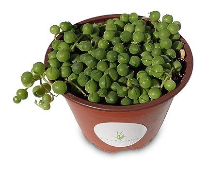 Amazoncom String Of Pearls Succulents Senecio Rowleyanus 4 Pot
