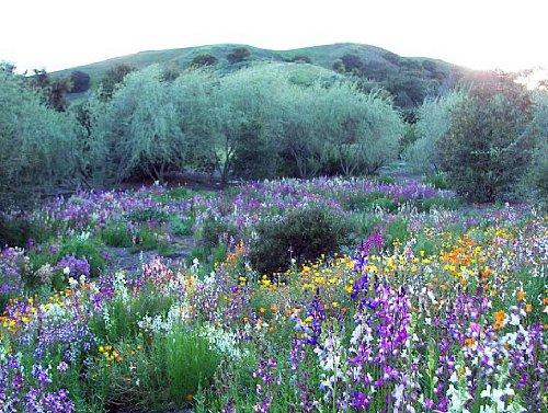 California Wildflower Mix 1,000+ Seeds