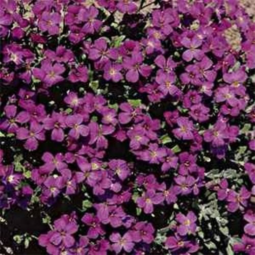 Rock Cress- (Aubrieta)- Hendersonii- 100 Seeds