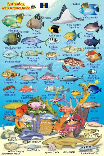 "Barbados Reef Creatures Guide Franko Maps Laminated Fish Card 4"" x 6"""