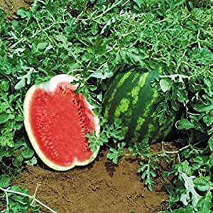 Semillas de sandía Top Gun F1 orgánico crecida melón temprano híbrido no GMO