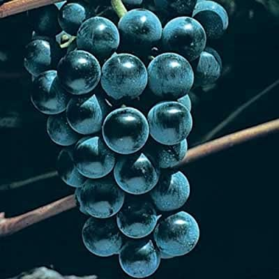 1 Plant Blue Venus Grape 2 Gallon Vine Plants Gardening Outdoor tktreas : Garden & Outdoor