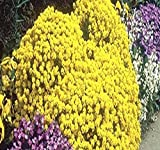 MySeeds.Co Alyssum Gold - Alyssum saxatile - Basket Of Gold Goldentuft Seeds - Great For Rock Garden ~ Perennial In Cold Hardy Zone 3-10 - By 4 x Packet Size (500 Seeds Per Pack)