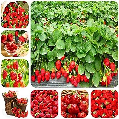 GETSO 200 Bonsai Rojos Plantas sanas GMO huerto Familiar siembra ...