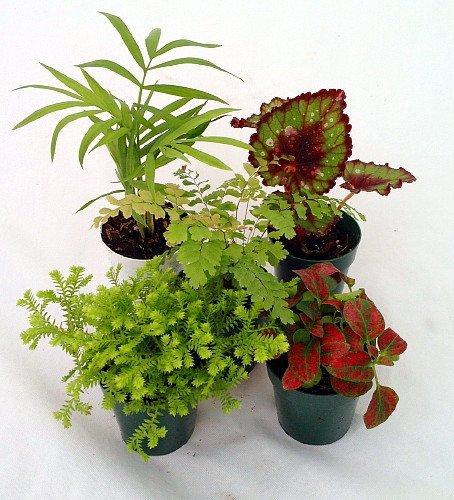 Jmbamboo-collection-Terrarium & Fairy Garden Plants - 5 Plants in 2'' pots
