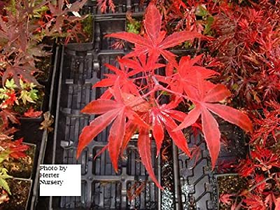 Red Cloud Bamboo Leaf Japanese Maple - 1 Year Graft