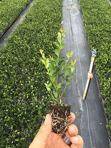 Japanese Holly Ilex Compacta Crenata Qty 60 Live Fully Rooted Evergreen Plants