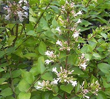 Abelia Chinensis Chinesische Abelie Amazonde Garten