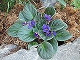 Primula Hortensis