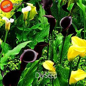 Promoción grande! ¡100 PC / porción raras semillas de la cala, semillas rizomas alta tasa de supervivencia flor de la cala, 18 colores, # LQO3GZ