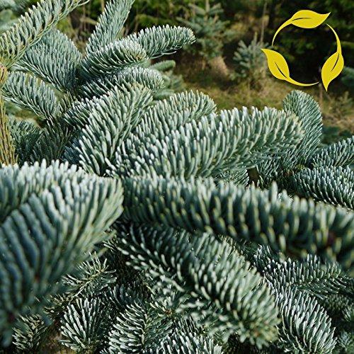NOBLE FIR Abies Nobilis Procera - 20+ (Noble Fir Tree)
