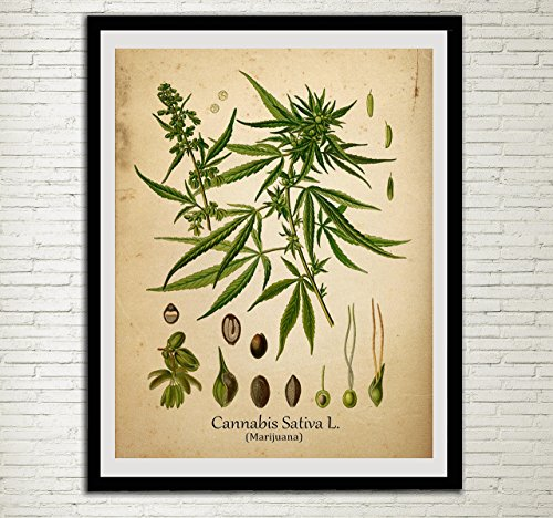 Cannabis Drug Plant Wall Art Print Antique Botanical Home Decor ...