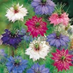 Nigella Persian Jewels mixed - Annual...