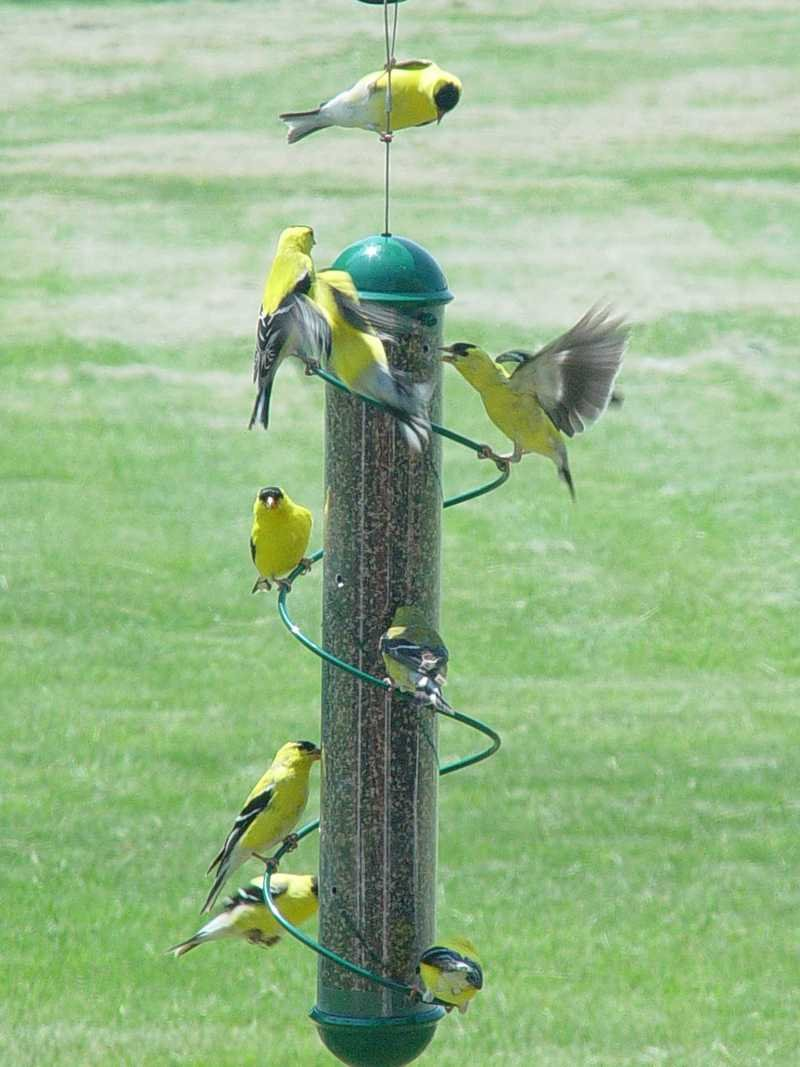 yankee farm finch goldfinch niger bird flocker prev droll feeder feeders house vine