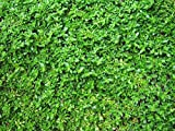 Green Carpet Herniaria 72 Cell Plug Flat Groundcover Plants