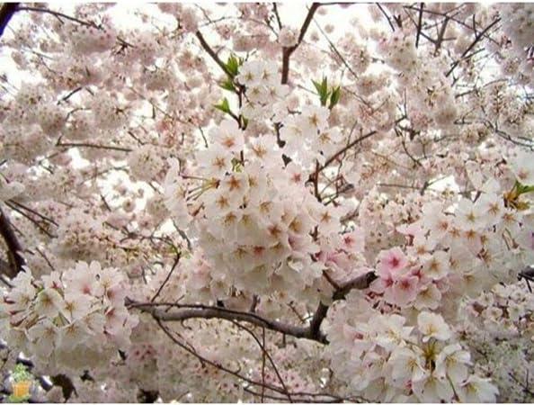 Amazon Com Yoshino Flowering Cherry Tree Live Established Rooted