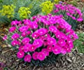 Shooting Star Dianthus - Perpetual Flowering Cheddar Pinks - Fragrant -Quart Pot