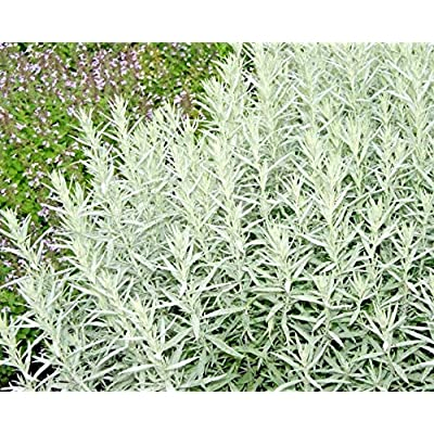 100 Fresh Seeds White Sagebrush Prairie Sage - CBR123 : Garden & Outdoor