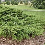 Green Sargent Juniper Seeds (Juniperus chinensis VAR. chinensis) 40+Seeds
