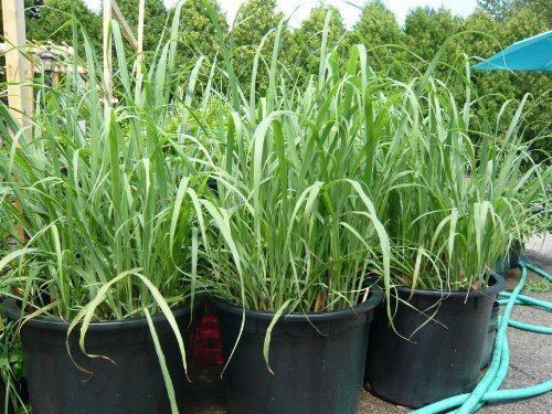 Planting lemongrass in a pot