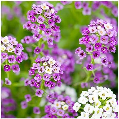 Earthcare Seeds Alyssum 'Royal Carpet' 5, 000 Seeds (Lobularia maritima) Fragrant Groundcover - Heirloom - Open Pollinated - Non GMO : Garden & Outdoor