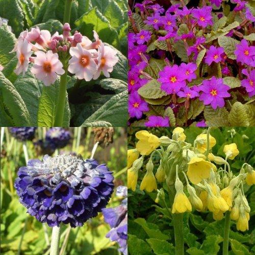 lichtnelke - Stauden-Paket mit 10 Pflanzen Primel - Mix (Primula)
