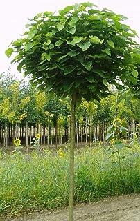 Blut-Pflaume auf Stamm 140-150 cm Prunus Nigra essbare Früchte Dünger !