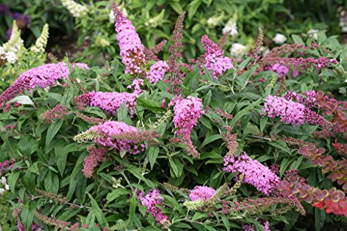 (Pugster Pink Butterfly Bush - 4