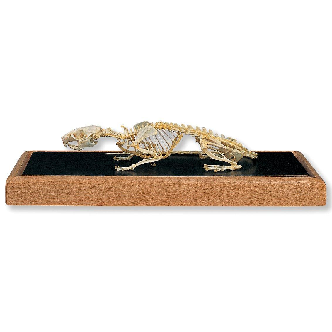 3B Scientific T30011 Rat Skull (Rattus rattus)