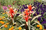 Home Comforts Laminated Poster Flower Guzmania Lingulata Garden Plant Scarlet Star Poster Print 24 x 36