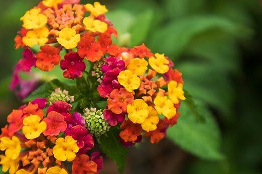 Grow Your Secret Garden Lantana Camara Seeds Amazon Co Uk Garden Outdoors