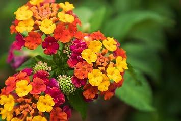 Grow Your Secret Garden Lantana Camara Seeds Amazoncouk Garden