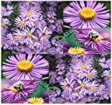 300 x New England Aster Seeds - Symphyotrichum novae-angliae Seed ~ Perennial In Zone 3-9 - By MySeeds.Co