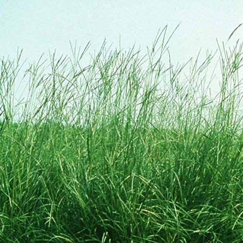 【種 4kg】 バヒアグラス 果樹草生栽培用 フルーツグラス [播種期:5~7月] 雪印種苗 米S代不 B06XRMDR1F