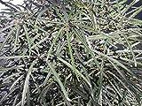5 seeds of Schefflera (Dizygotheca) elegantissima FALSE ARALIA Seeds