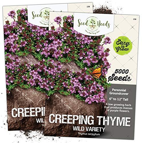 Seed Needs, Wild Creeping Thyme (Thymus serpyllum) Twin Pack of 5,000 Seeds Each