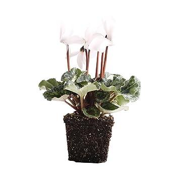 Amazon.com: Plants by Post 4in White Cyclamen Latinia Live 4