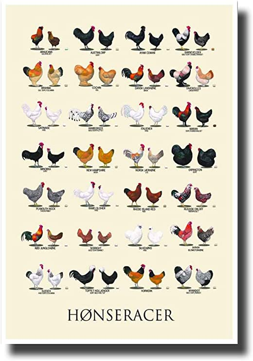 Many Little Colorful Chickens Art Print Home Decor Wall Art Poster