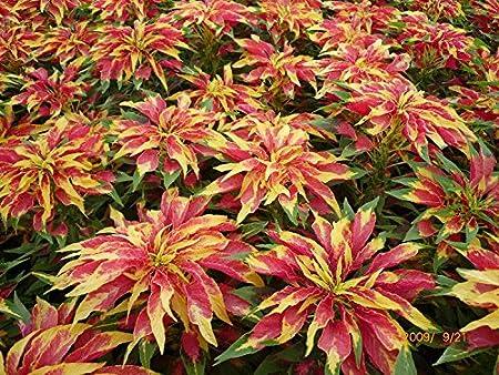 Tri-color Perfecta Amaranthus 100 Seeds