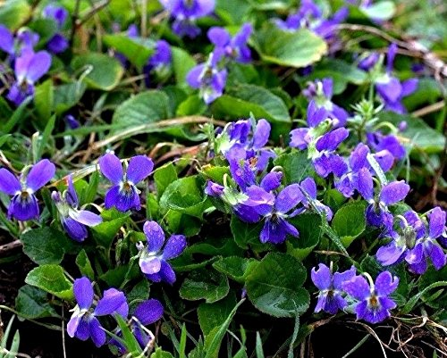 Violet Viola Spring Blue Purple Easy Perennial! Wildflower Hardy Pansy 50 Seeds