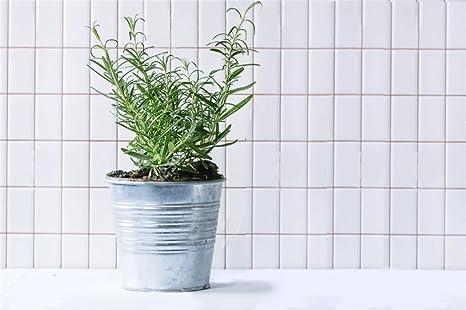Pianta aromatica da cucina PIANTA DI ROSMARINO in vaso 14 cm: Amazon ...