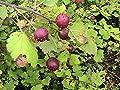 10 Eastern Prickly Gooseberry Seeds