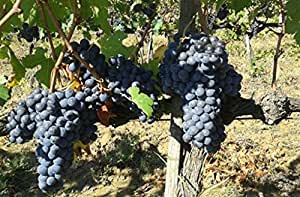 barbatella Árbol de uvas a Mangle desnuda Tornillo Nera 'Corinto' de vino