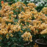 New Real Blooming Plants Yellow Bougainvillea Spectabilis Willd Bonsai Bougainvillea Plant Seeds 100 Particles / lot