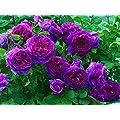 10 Purple Climbing Rose Seeds Free Shipping