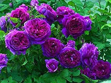 Image result for purple climbing rose pictures