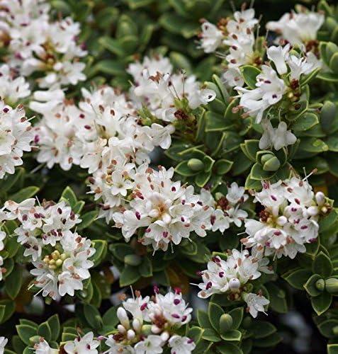 Arbusto Con Fiori Bianchi.Vaso 9 Cm Hebe Pinguifolia Sutherlandii Da Giardino Bordo E