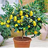 10Pcs/lot Rare Lemon Tree Indoor Outdoor Available Heirloom Fruit Seeds Love Garden